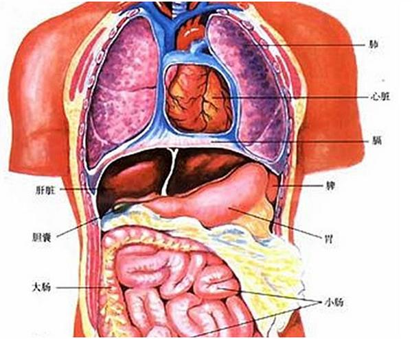脾脏疼:人的脾在哪个位置呢