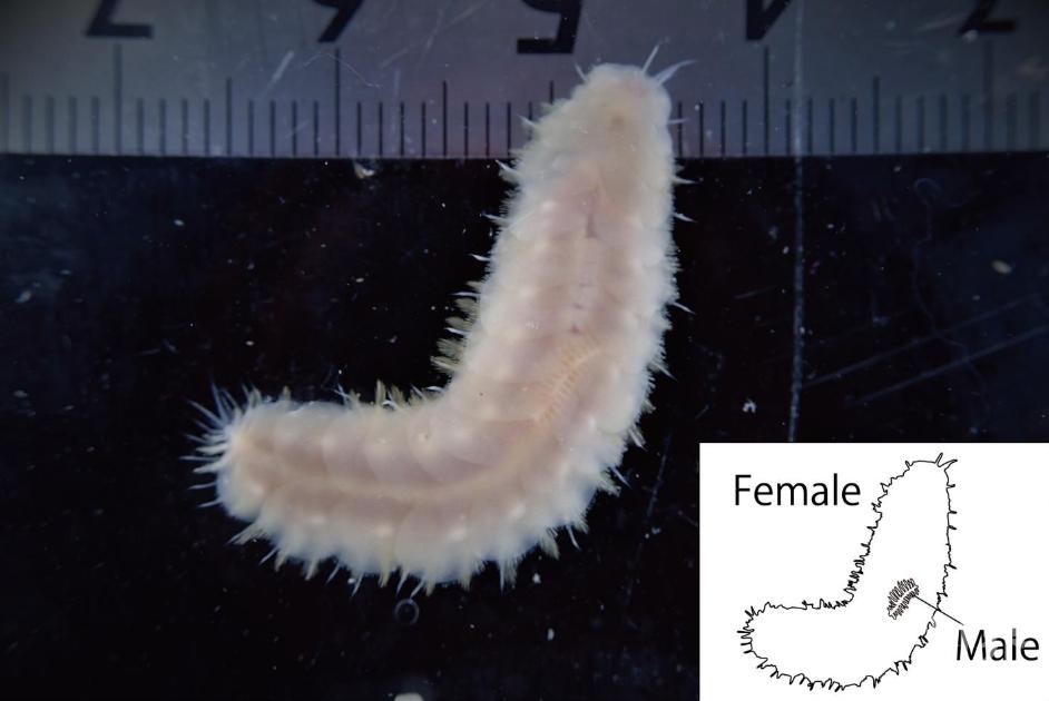 科学家在日本海发现新物种,雄性体型只有配偶的四分之一
