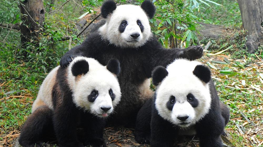 """熊貓為何被降級為""""易�!�?會對保護產生什么影響?的頭圖"""