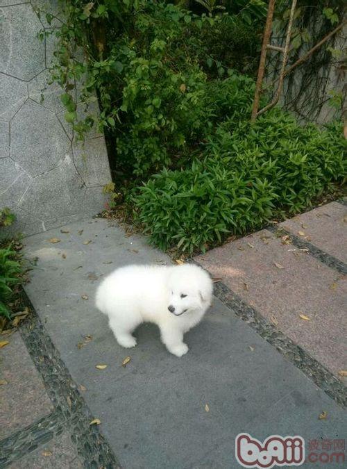 怎样辨别萨摩耶和大白熊犬?