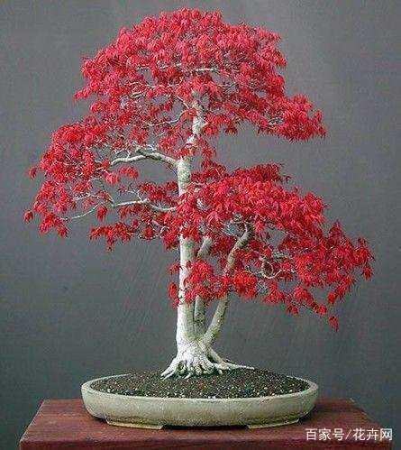 红枫盆景怎么养,需要注意什么?