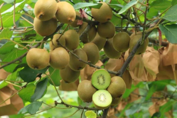 中国猕猴桃的三大产地是什么?