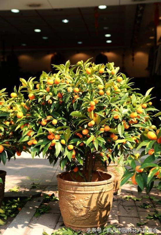 自己种的金桔,吃起来果然不一样!家庭金桔种植有哪些注意事项?