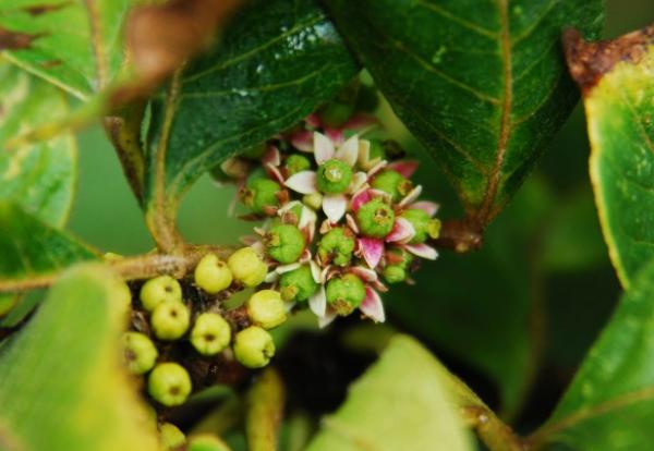 吴茱萸适合哪个季节种植  吴茱萸季节种植花鸟鱼虫种植