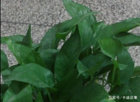 绿萝怎么养才能爆盆?