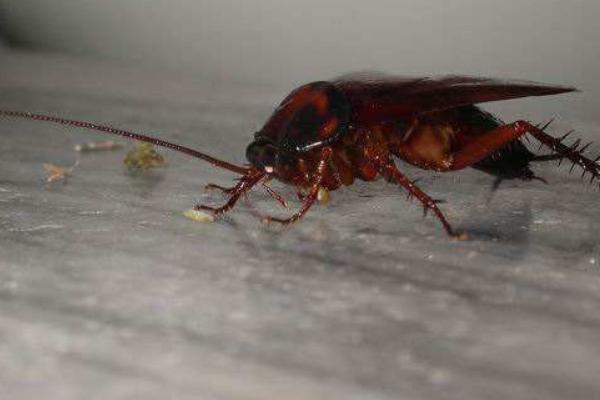 衣柜里有蟑螂如何消灭?