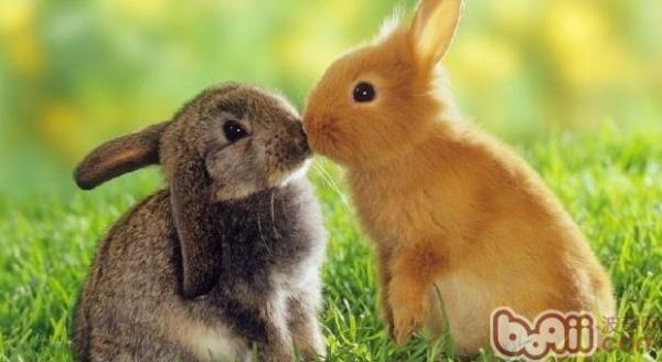 什么品种的兔子最好养?