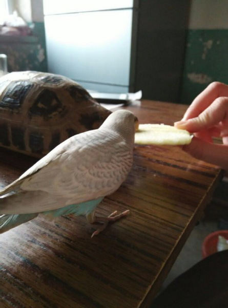 虎皮鹦鹉最爱吃什么?