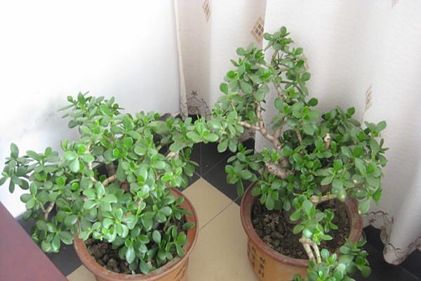 玉树叶子又蔫又软,到底是什么原因导致的?