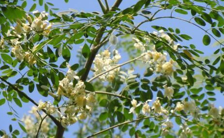 中国哪里适合种植辣木树?