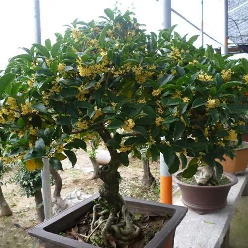 桂花树长的不好,叶尖发黄,该怎么办?
