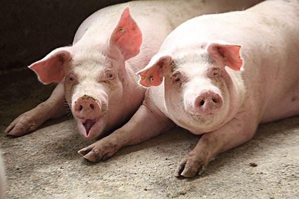 为什么20头左右母猪的猪场可以逃过非瘟?