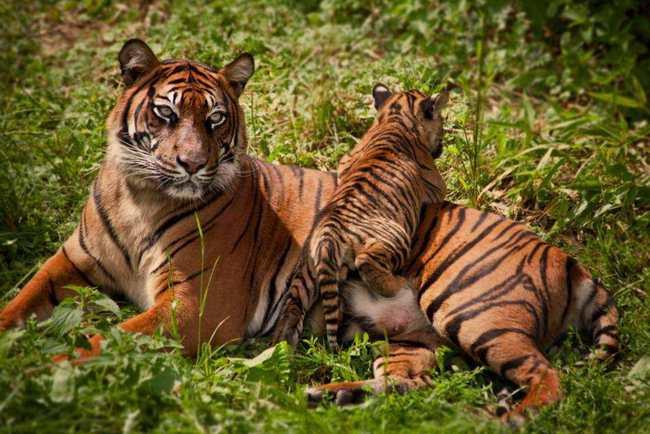 当年放养非洲的2只华南虎,后来怎样了?老虎会伤人为何要放生?