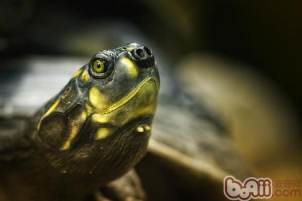 巴西龟也会咬人吗?