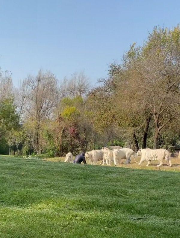 北京野生动物园1人挑衅6虎!遇到老虎如何逃生?千万不要爬树