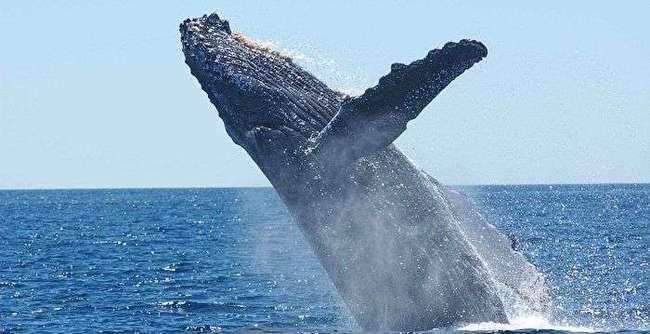 座头鲸的日常:吃饭、睡觉、打虎鲸!座头鲸为何总跟虎鲸过不去?