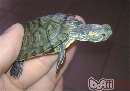 巴西红耳龟吃什么?