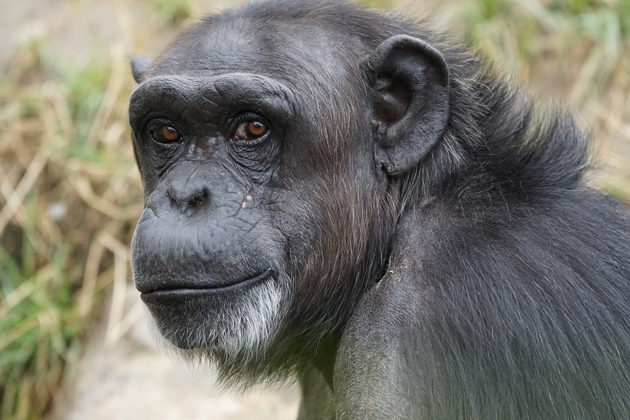 继吃人、吃猴之后,黑猩猩首次吃大猩猩,科学家:与全球变暖有关