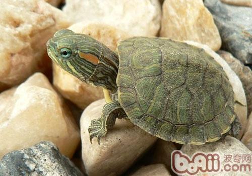 你知道巴西龟什么时候会下蛋吗?