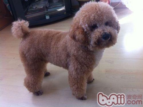 泰迪犬都是卷毛吗?