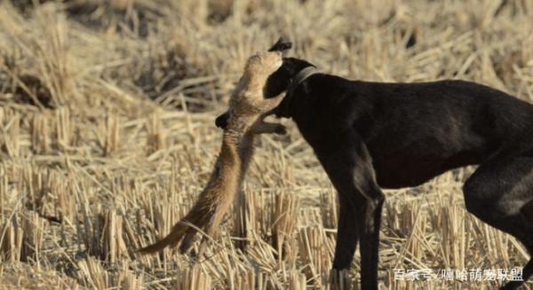 作恶多端的黄鼠狼最害怕的是什么?