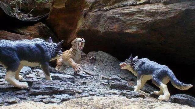 好虎不敌群狼?动物学家:错!独居的虎将群居的狼逼至灭绝境地!