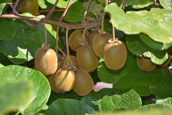 气温低经过人工授粉的猕猴桃能长大吗?
