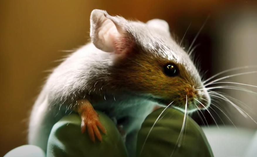 越隐藏,事越大!美国实验室老鼠跑了,实验牛肉被端上餐桌