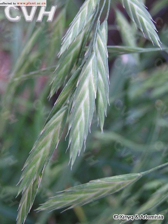 扁穗雀麦的地理分布