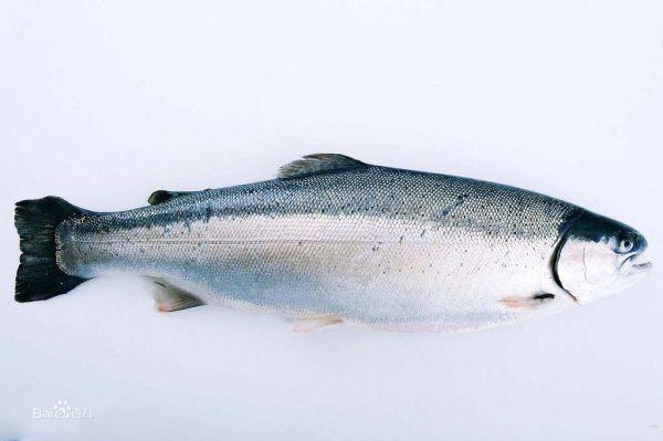 三文鱼是什么鱼?
