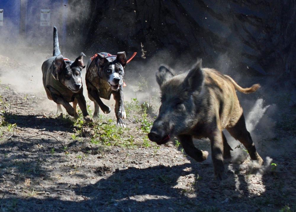 又见人猪大战!中国野猪泛滥成灾,这么多野猪究竟该如何处理?
