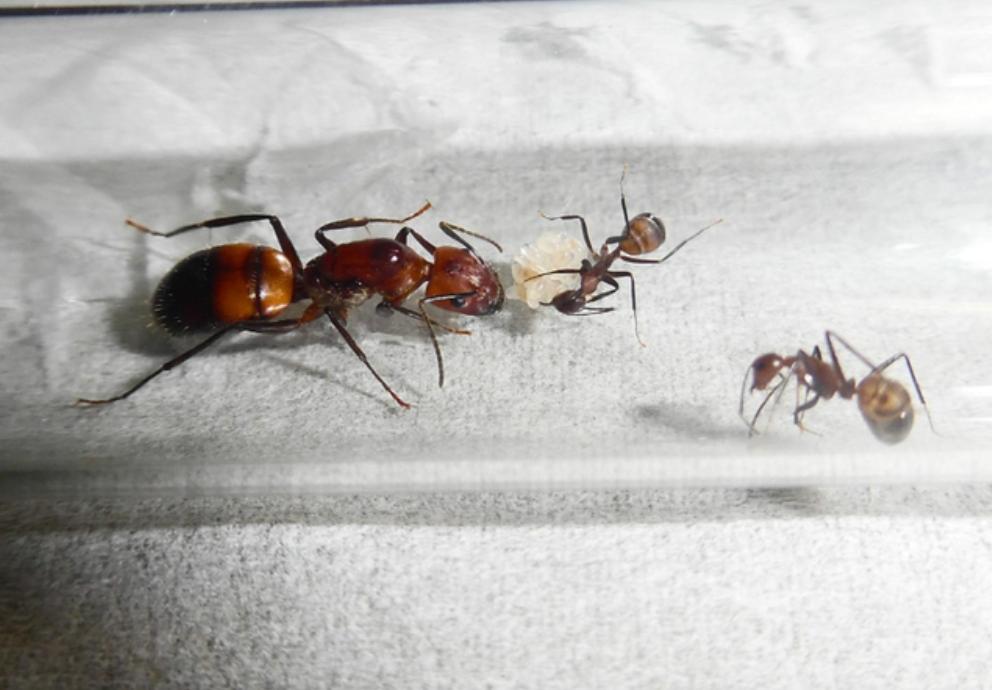 一个蚁巢24万头工蚁,广州出现大量红火蚁,它会带来什么后果?