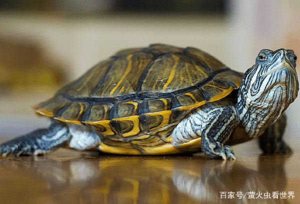 乌龟和甲鱼相似,为何人们经常吃甲鱼,却很少吃乌龟呢?