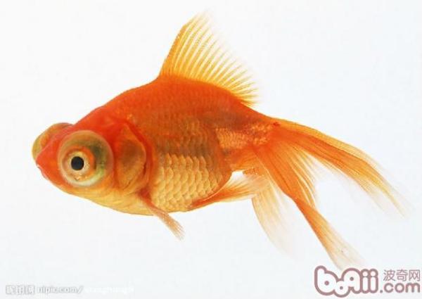 金鱼吃多了怎么办?
