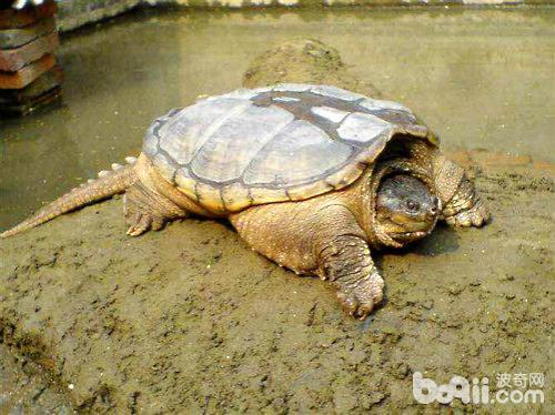 鳄鱼龟怎么养才好?