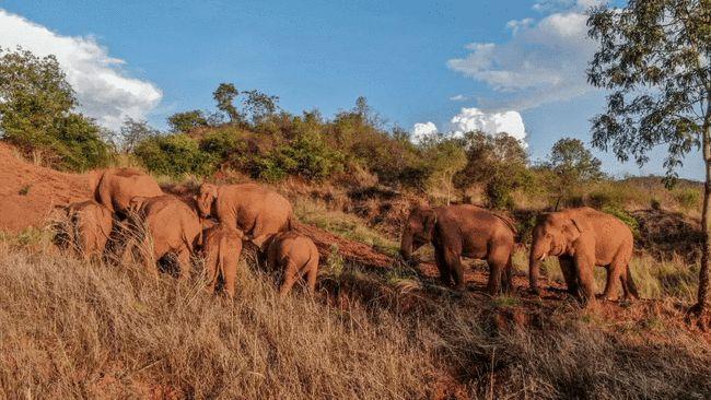 欺少怕多?为何可以麻醉独居大象,却坚决不能麻醉群居大象?