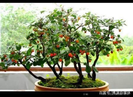 如何制作古朴的柿子盆景?