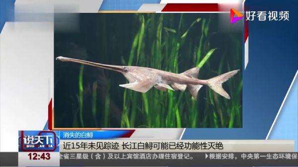 白鲟,长江白鲟到底是什么鱼?