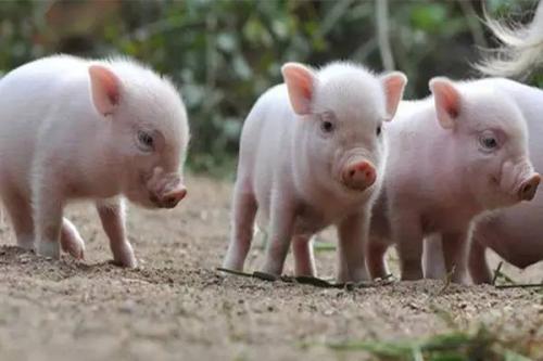 现在养殖户生猪出栏量很少,为什么一些市场摊位上却摆满了猪肉?