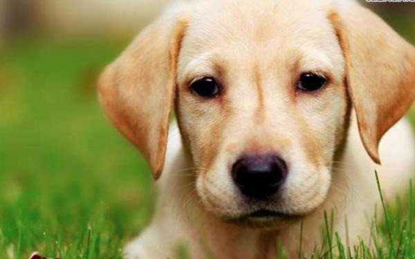 训练拉布拉多犬送东西有哪些妙招?