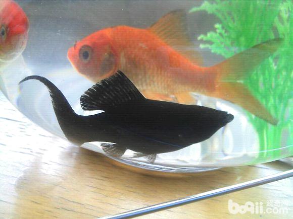 如何科学地养好金鱼?