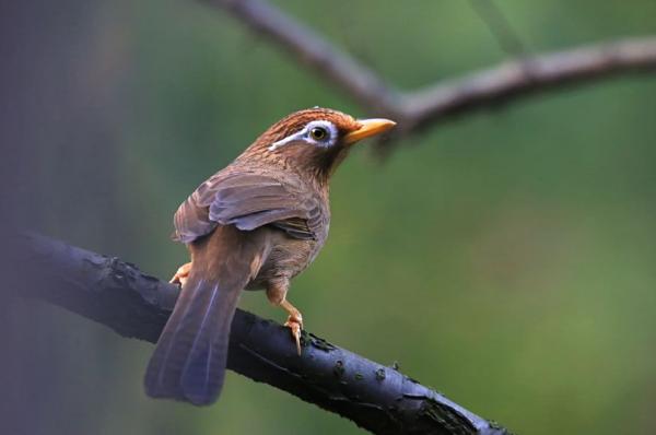 如何训练画眉鸟鸣唱?
