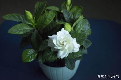 栀子花、桂花、杜鹃花养不活,什么原因造成的,该怎么养?