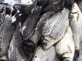 养殖鲫鱼要在什么环境?主要吃什么饲料?