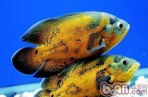 什么鱼可以和地图鱼混养?
