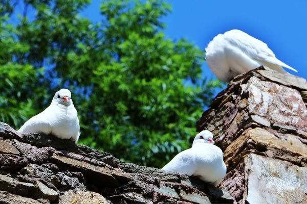 怎么养鸽子不怕鸽子飞走 ?