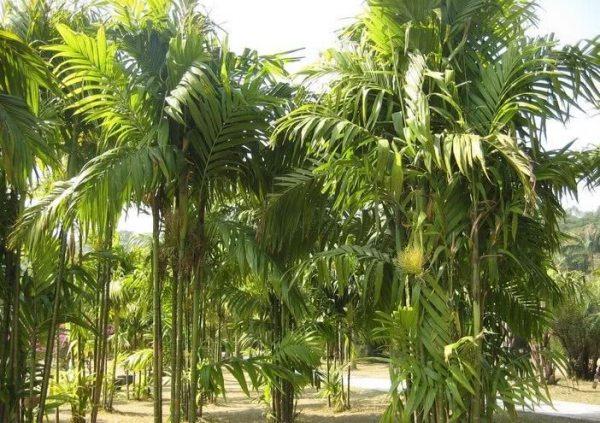 真的很神奇!槟榔是危险的食物,为什么湖南的男人都爱吃槟榔?