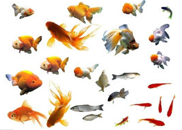 养金鱼要不要天天喂食?