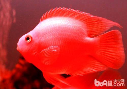 鹦鹉鱼变色怎么办?
