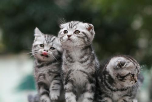 大家帮看看这是美短虎斑猫吗纯吗是折耳猫吗多少钱买值?